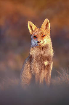 Red Fox at Sunset by Roeselien Raimond