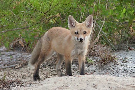 Red Fox Kit #2 by Paul Rebmann