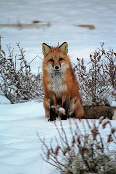 Red Fox Vixen Sitting on Snow  by Deborah Kinisky