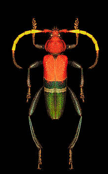 Red, Green and Black Longhorn Beetle by Gary Shepard