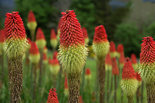 Red Hot Poker by Debby Richards