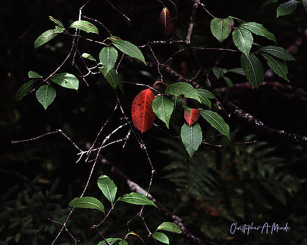 Red Leaf by Christopher Meade