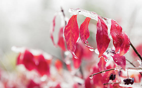 Red leaves and branches are frozen into beautiful iciles.  by Ryan Hoel