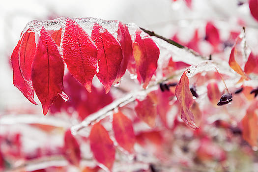 Red leaves and plant buds are frozen into beautiful iciles.  by Ryan Hoel