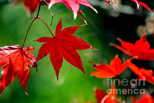 Red Leaves  by SoxyGal Photography
