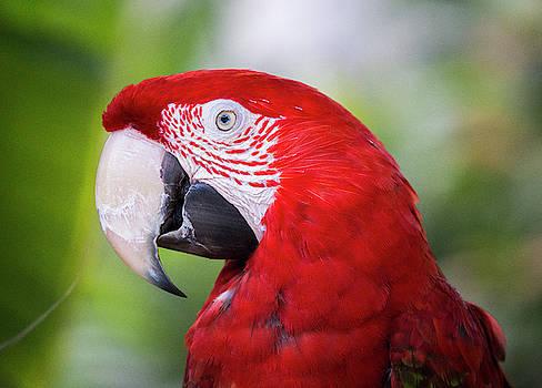 Red Macaw by Stephanie McDowell