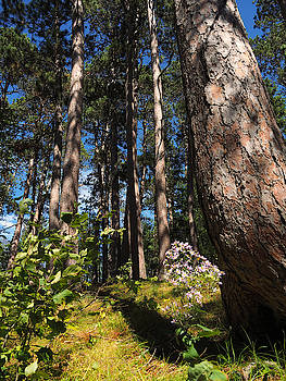 Red Pine Itasca by James Peterson