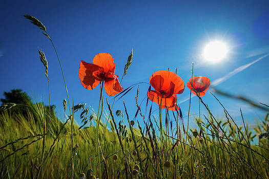 Red Poppies In A Cornfield In The Sunshine by Karsten Eggert