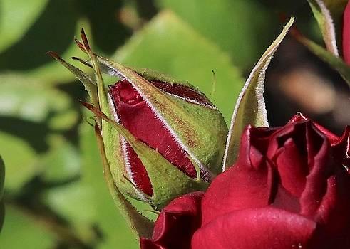Red Rosebud by Sarah Lilja