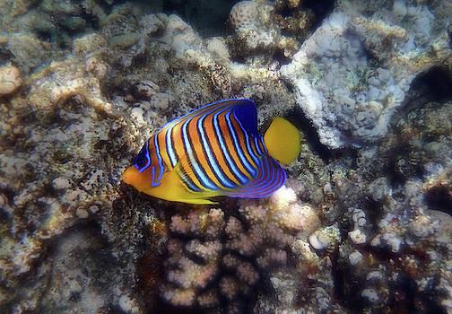 Red Sea Royal Angelfish Is A Beauty by Johanna Hurmerinta