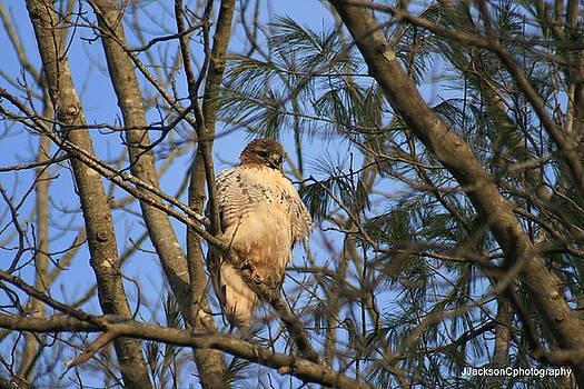 Red Shoulder Hawk by Jonathan Jackson Coe