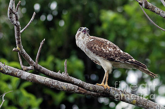 Red Shouldered Hawk Calling Over the Glades by Natural Focal Point Photography