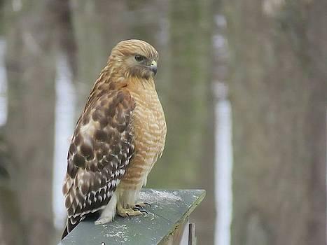 Red Shouldered Hawk by David Bannwart
