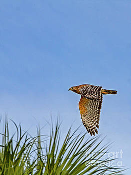 Red-Shouldered Hawk in Flight by Blair Howell