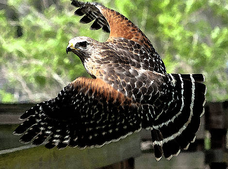 Red-Shouldered Hawk in Flight WC by Norman Johnson