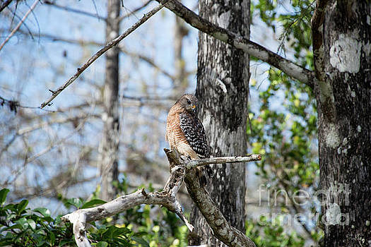Red-shouldered hawk in the big cypress by Ana Garcia