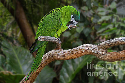 Red-shouldered Macaw by Arterra Picture Library