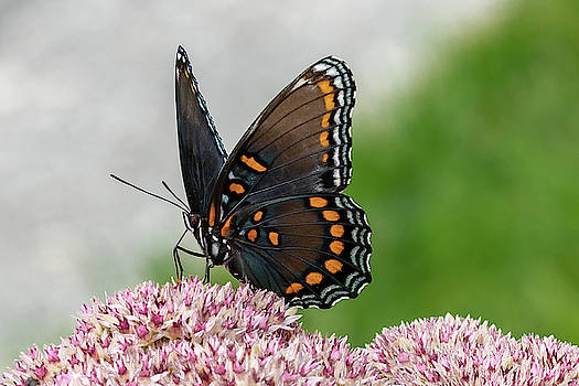 Red Spotted Admiral by Gary E Snyder