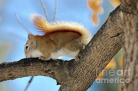 Red Squirrel Licking Sap by Sandra Updyke
