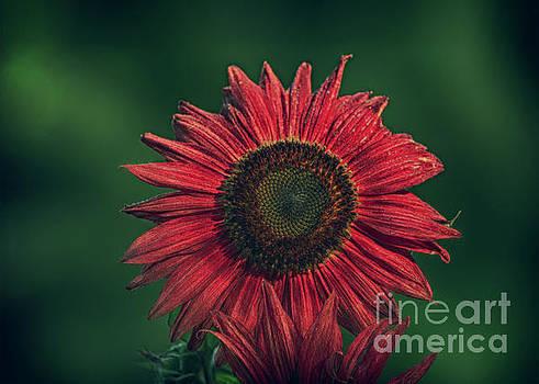 Red Sunflower by Linda Troski
