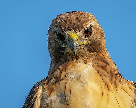 Red Tail Hawk by Brad Bellisle