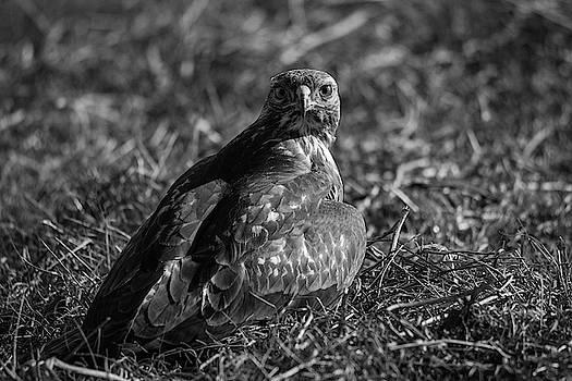 Red Tail Hawk Buteo Jamaicensis by Khalid Mahmoud
