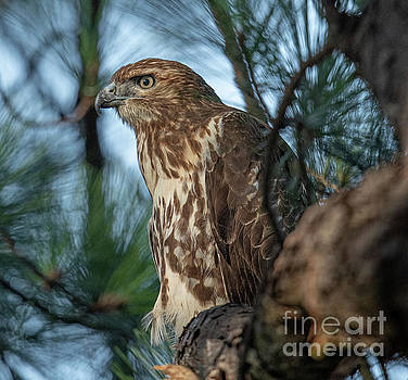 Dale Powell - Red Tailed Hawk