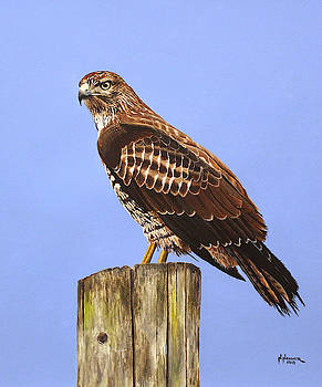 Red-Tailed Hawk II by Nelson Hammer