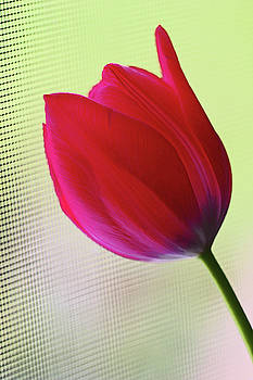 Red Tulip yellow green background 5819 by David Frederick