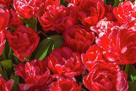 Red Tulips in Bloom 1 by Bonnie Follett