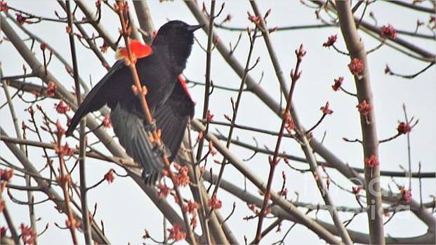 Red Wing Blackbird Displaying Male       Spring            Indiana by Rory Cubel
