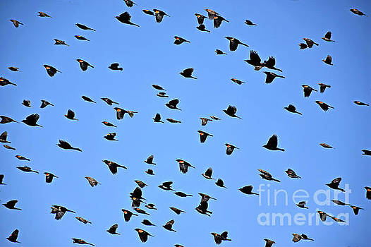 Red-wing Blackbird Migration by Kathy M Krause