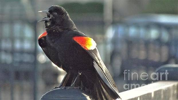 Red Winged Blackbird Calling               April          Indiana by Rory Cubel