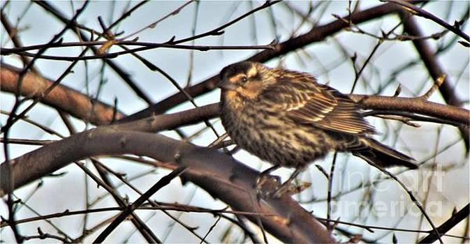 Red Winged Blackbird Female           Spring          Indiana by Rory Cubel