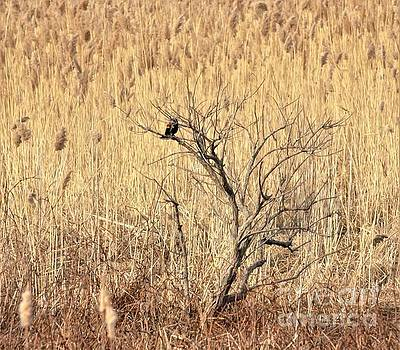 Red Winged Blackbird In Bare Spring Tree           March       Indiana by Rory Cubel