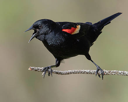 Red-winged Blackbird Squawking by Jerry Fornarotto