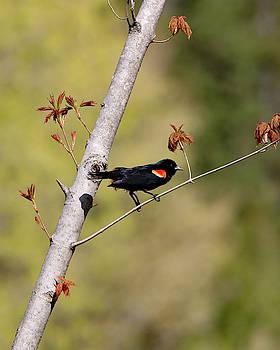Red Winged Blackbird  by Steve Bell