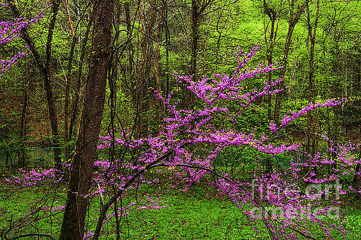 Redbud along Little Kanawha River by Thomas R Fletcher