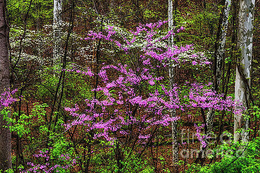 Redbud Dogwood and Sycamore by Thomas R Fletcher