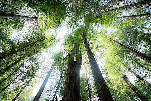 Redwoods by Noah Lang