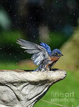 Refreshed Eastern Bluebird by Cindy Treger