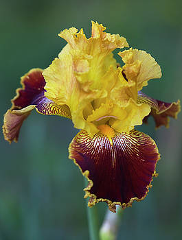 Regal Wine and Gold Iris by Kathy Clark