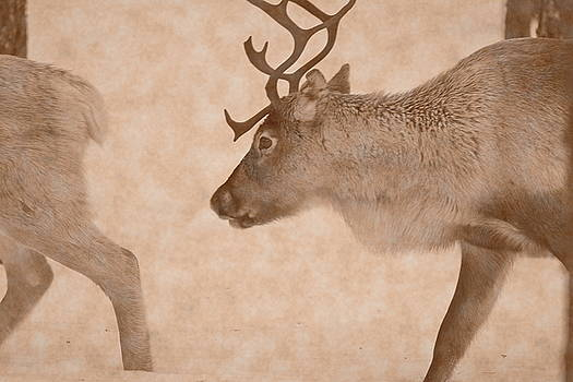 Reindeer are moving through deep snow in a forest - vintage sepia by Intensivelight