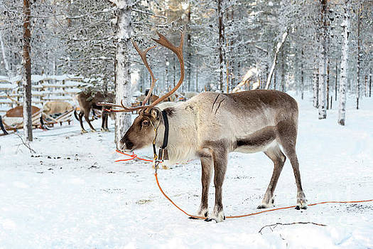 Reindeer in the snow by Delphimages Photo Creations