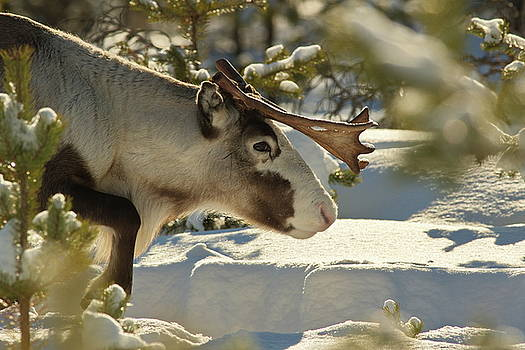 Reindeer moving through deep snow in a sunny forest by Intensivelight