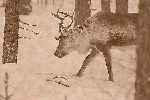 Reindeer moving through snowy forest - vintage sepia by Intensivelight