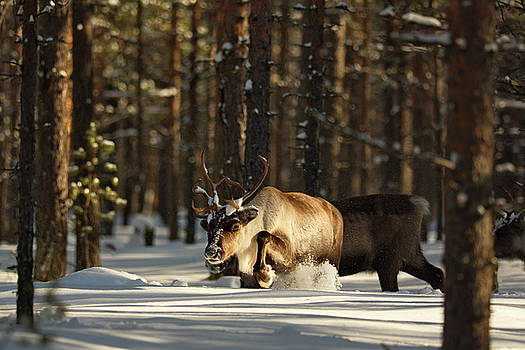 Reindeer plodding throug deep snow in a sunny forest by Intensivelight
