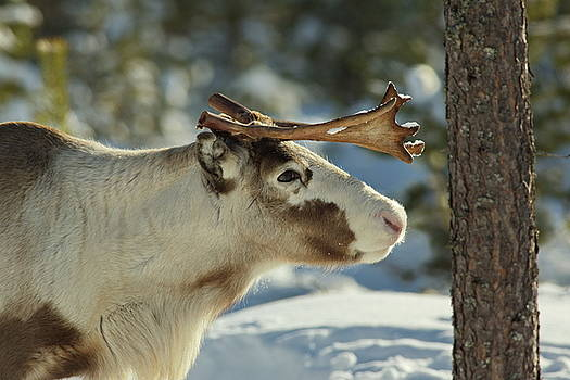Reindeer sniffing at a tree trunk by Intensivelight