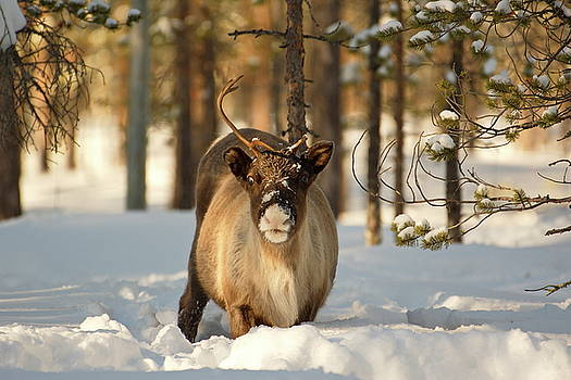 Reindeer standing in deep snow, facing the camera by Intensivelight