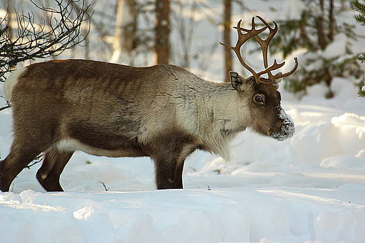 Reindeer standing in deep snow by Intensivelight